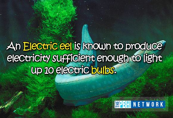 amazing facts ocean animals electric eel Ten Amazing Facts About Ocean Animals