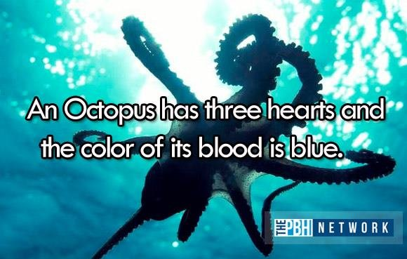Amazing Ocean Animal Facts Octopus Hearts