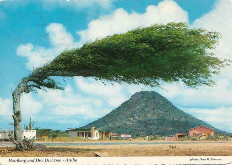 World's Most Amazing Trees Divi Divi