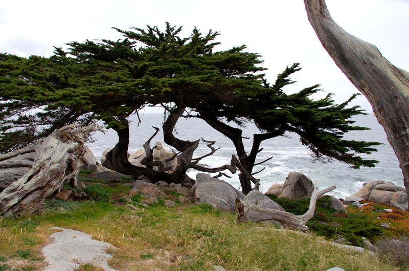 Amazing Trees Lone Cypress In California