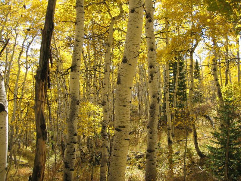 Amazing Trees Quaking Aspen