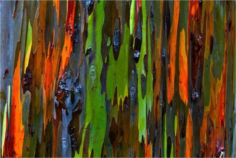 amazing trees rainbow eucalyptus 1 The Worlds Most Amazing Trees