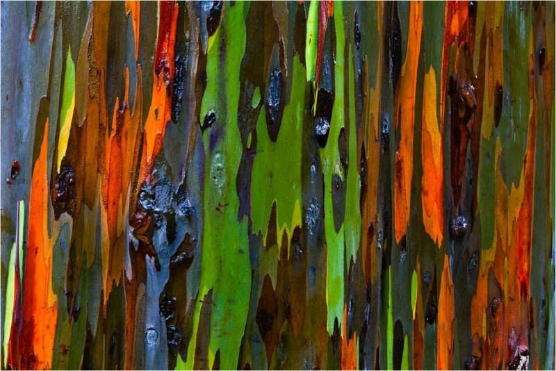 Most Amazing Trees Rainbow Eucalyptus Tree