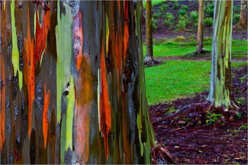 The Rainbow Eucalyptus Tree