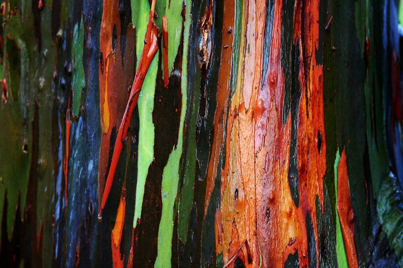 Rainbow Eucalyptus Tree Photograph