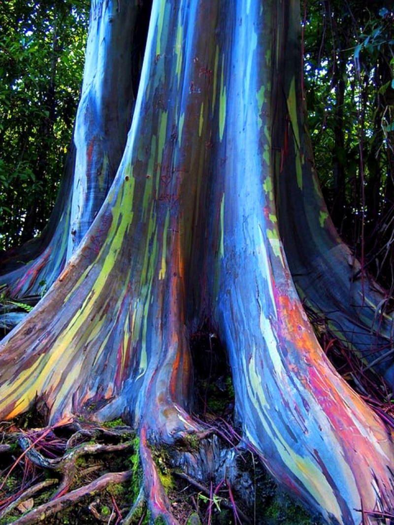Rainbow Eucalyptus Picture