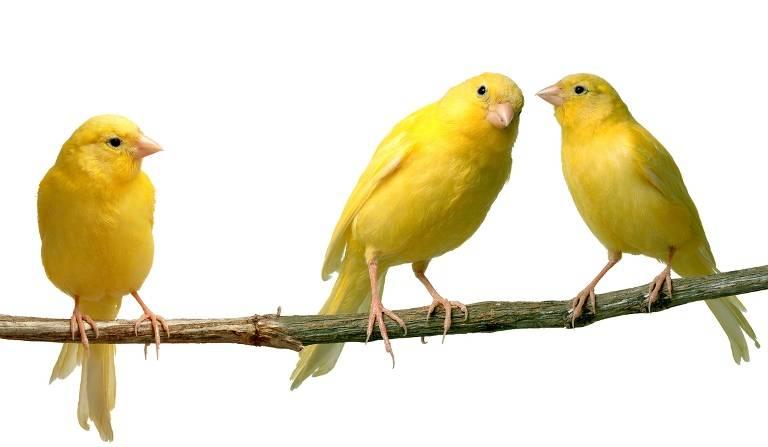 Deep Fried Canaries