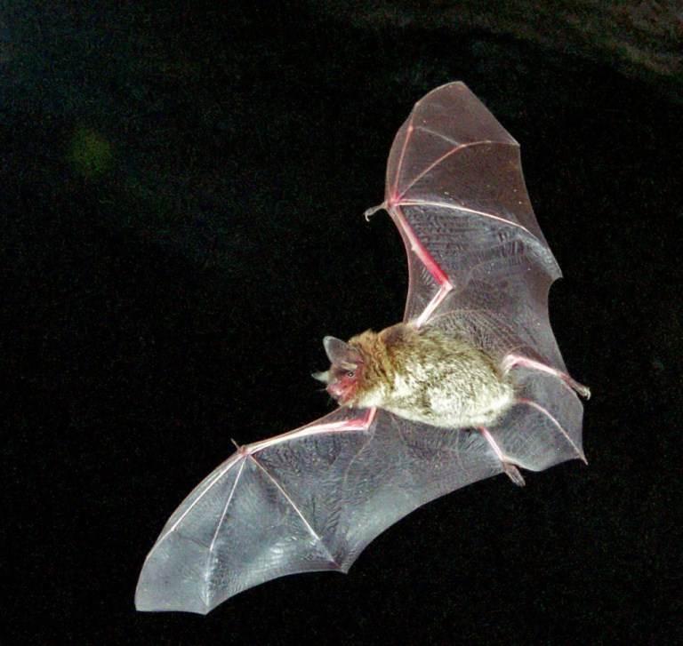 Outrageous Historical Treatments Bat Blood