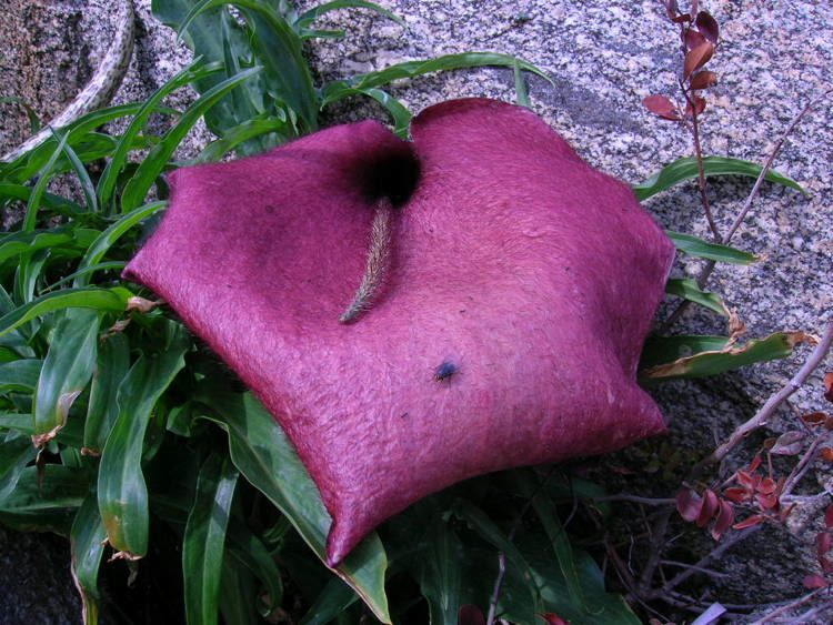 The World's Largest And Smelliest Flowers Dead Horse Arum Lily