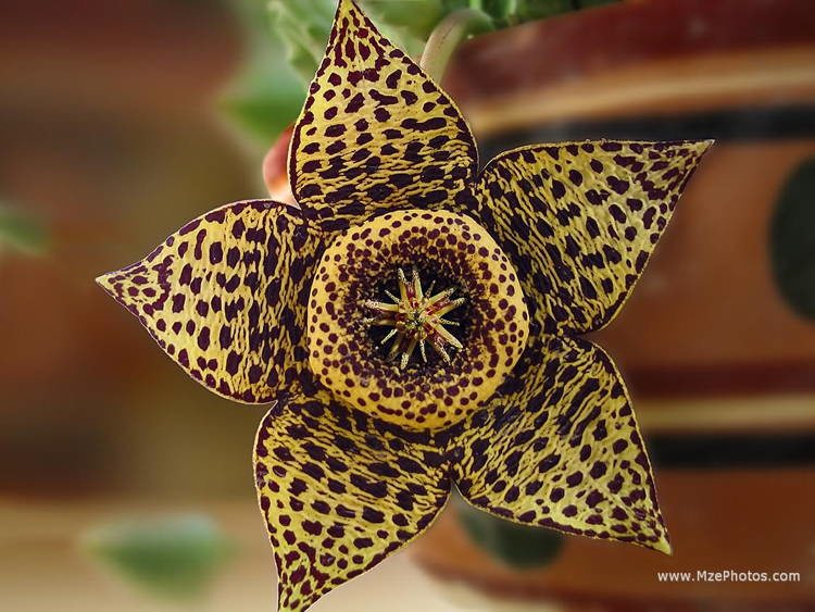 Largest Smelliest Flowers Starflower 3