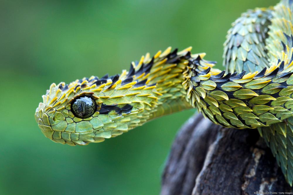 bush viper snake The Dazzling And Dangerous Bush Viper