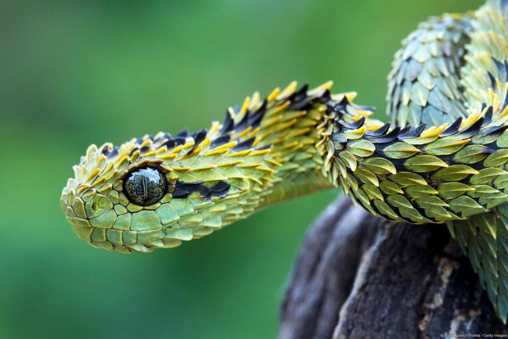 Bush Viper Snake