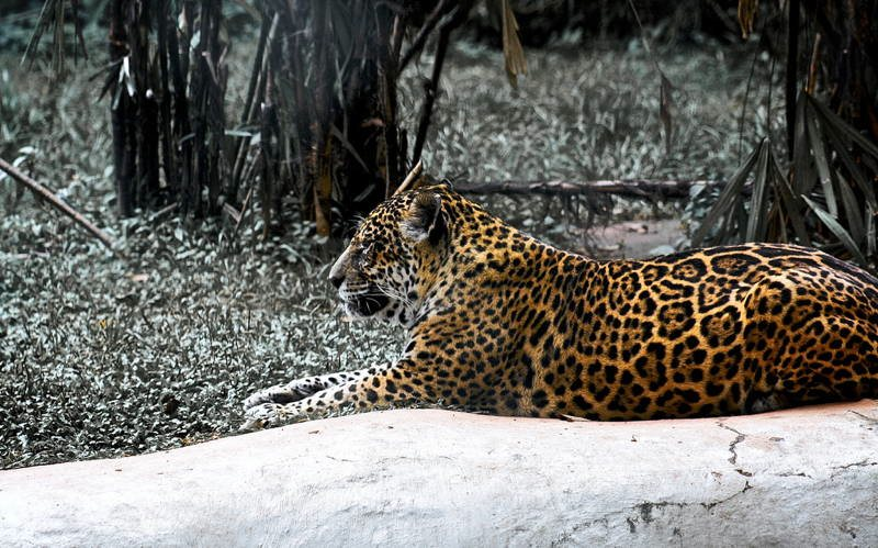 Jungle City Manaus Leopard