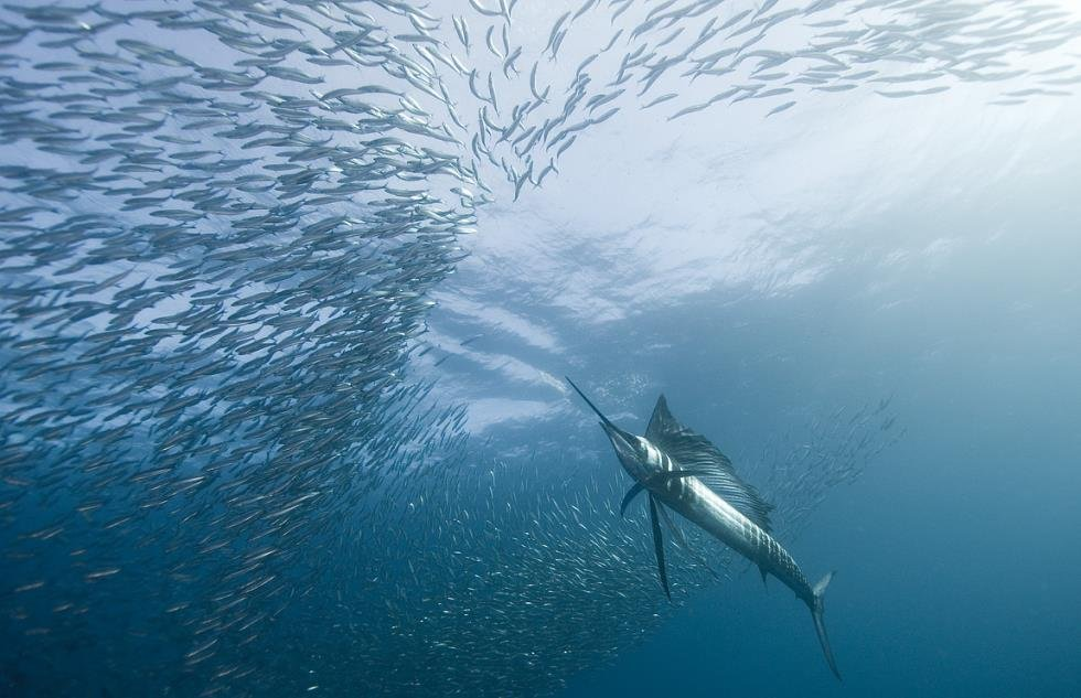 sailfish hunts mackerel Capturing The Atlantic Sailfishs Incredible Speed