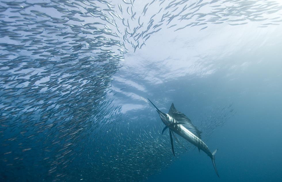 Sailfish Hunts Mackerel