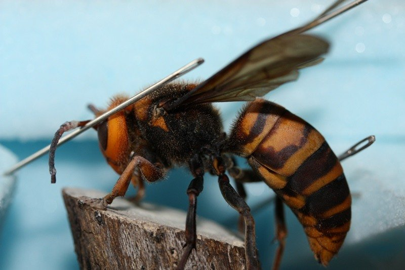 Deadliest Animals Asian Hornet