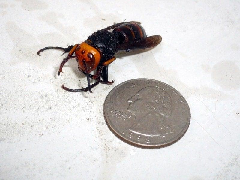 Dangerous Animals Asian Hornet