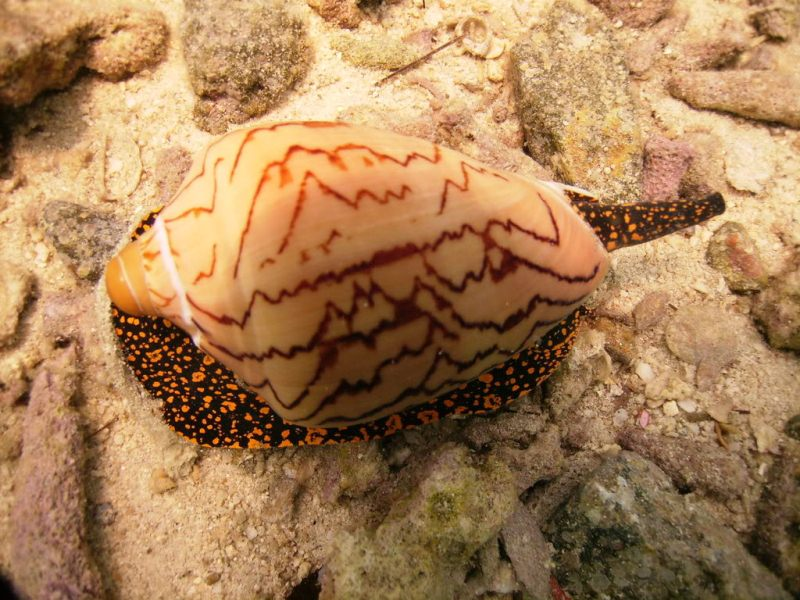 Deadliest Animals Cone Snail
