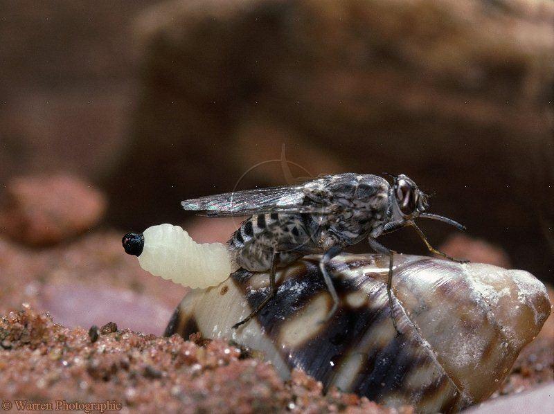 Dangerous Animals Tsetse Fly Larva