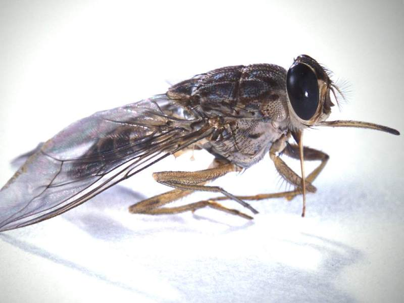 Deadliest Animals Tseste Fly