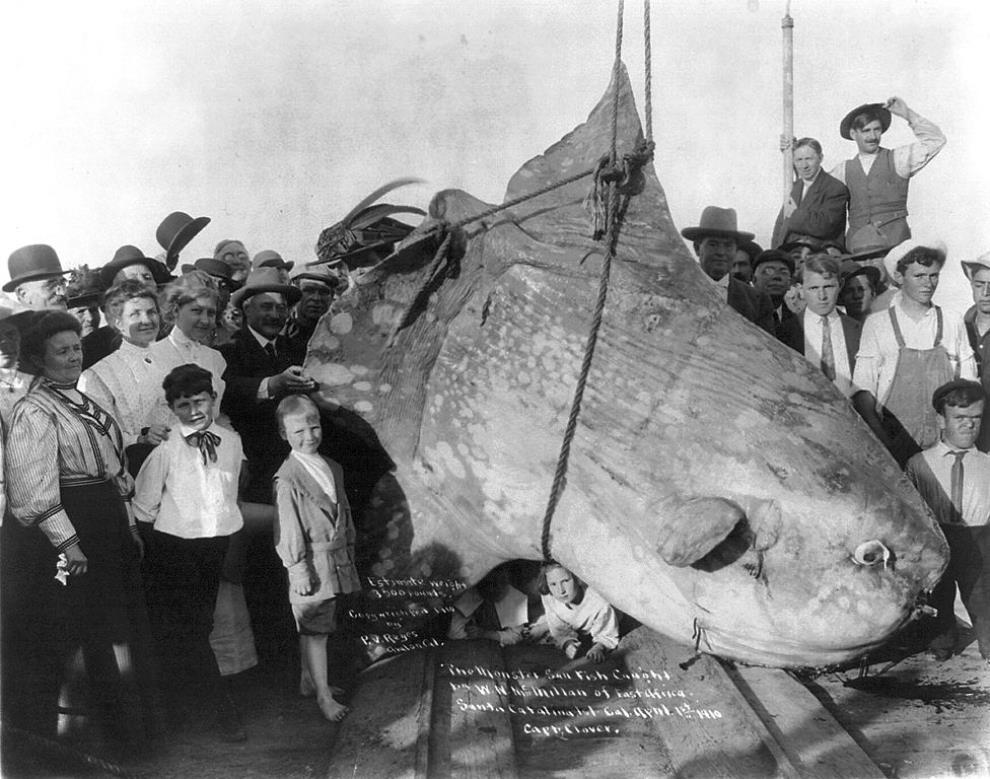 enormous-sunfish-1910