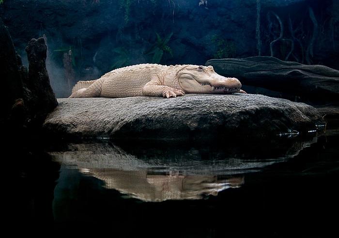 Animal Albinism Alligator Claude