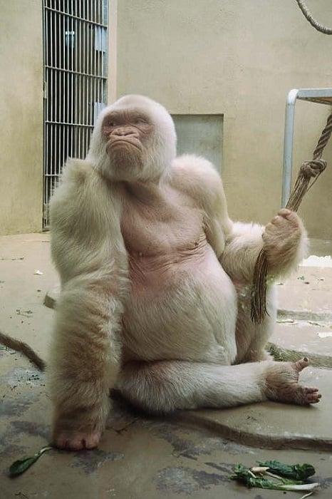 Animal Albinism Gorilla