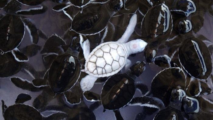 Animal Albinism Green Sea Turtle