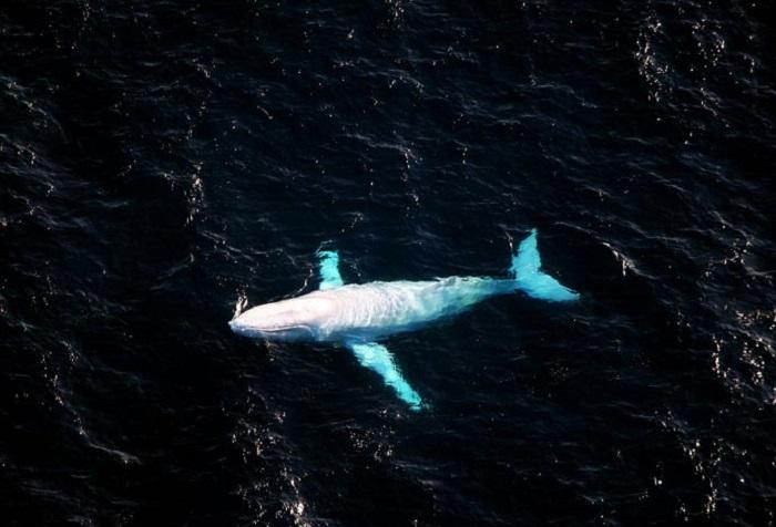 Albino Humpback Whale