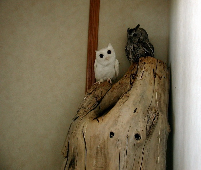 Animal Albinism Owl
