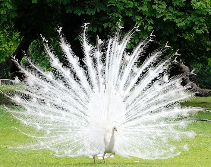Animal Albinism Peacock