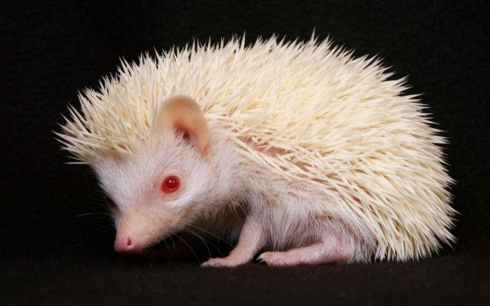 Animal Albinism Porcupine