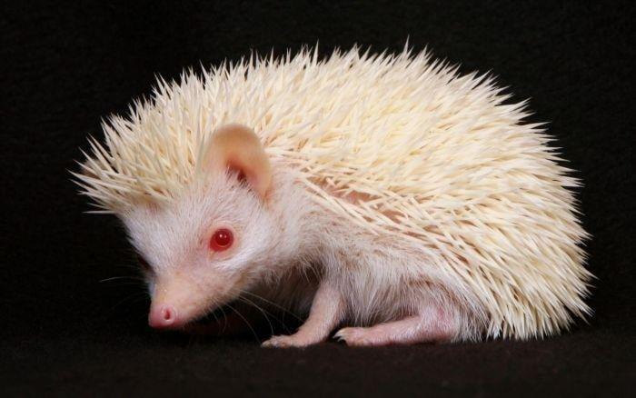 Animal Albinism Porcupine