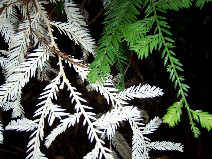 Albino Redwood Tree