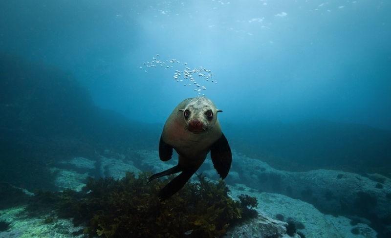 Australian Fur Seals 1