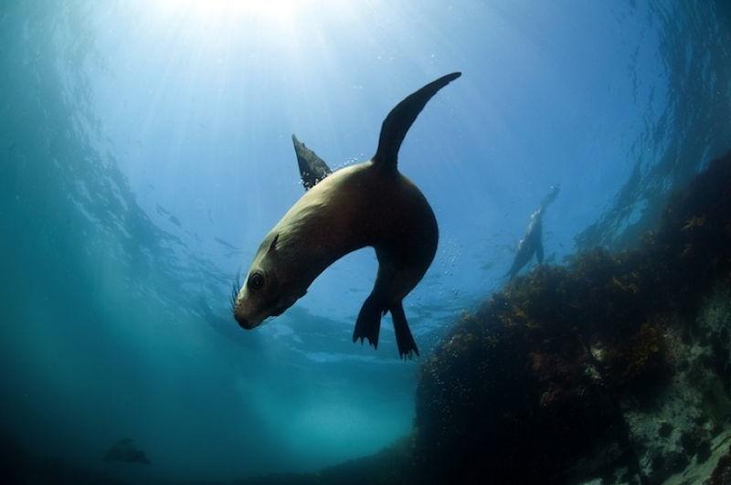 Australian Fur Seals 2