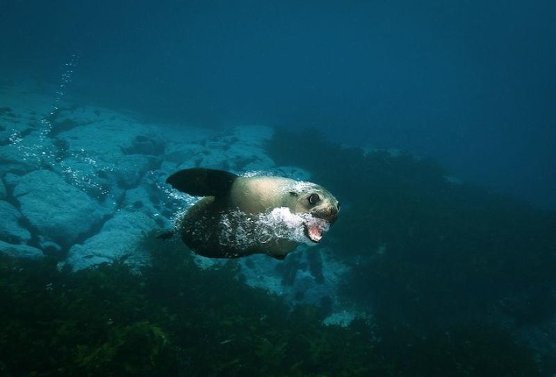 Australian Fur Seals 3