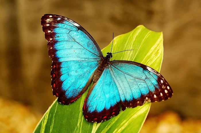 Blue Morpho Butterfly Colorful Animals