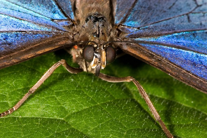 Blue Morpho Butterfly Close Up