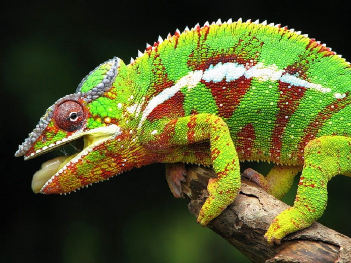 Panther Chameleon Colorful Animals
