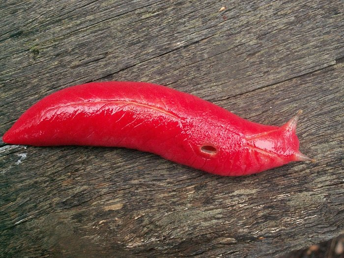 Pink Slug Picture