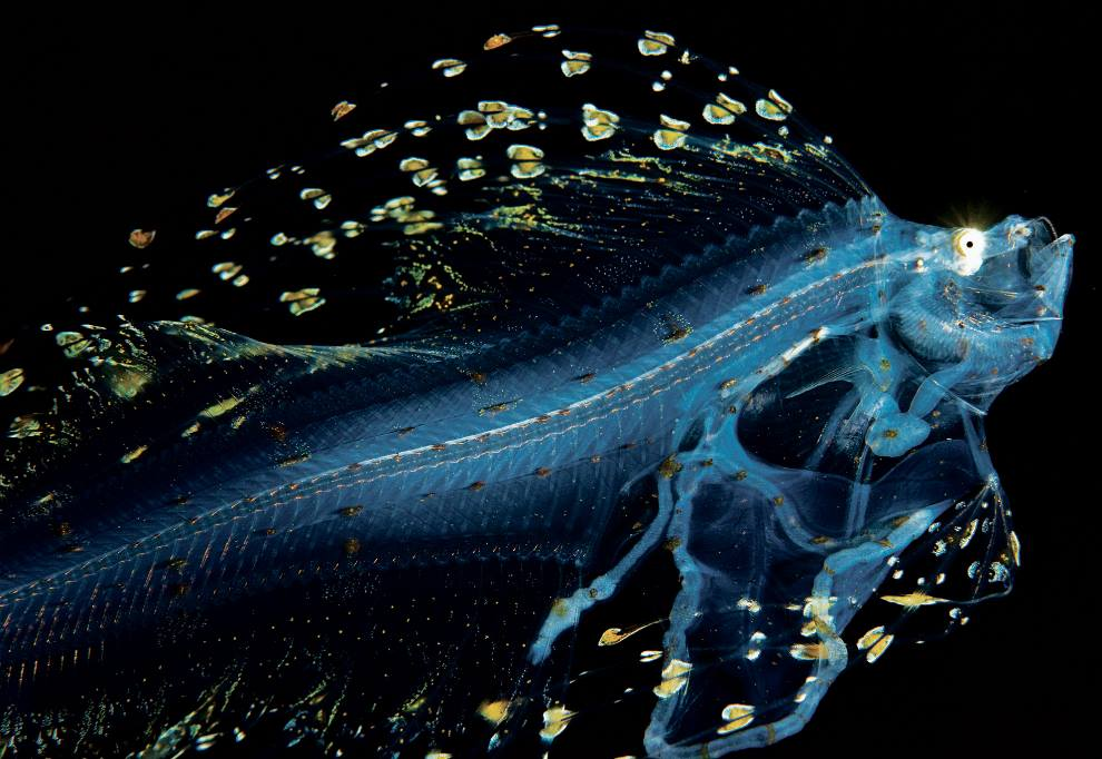 Larval Cusk Eel