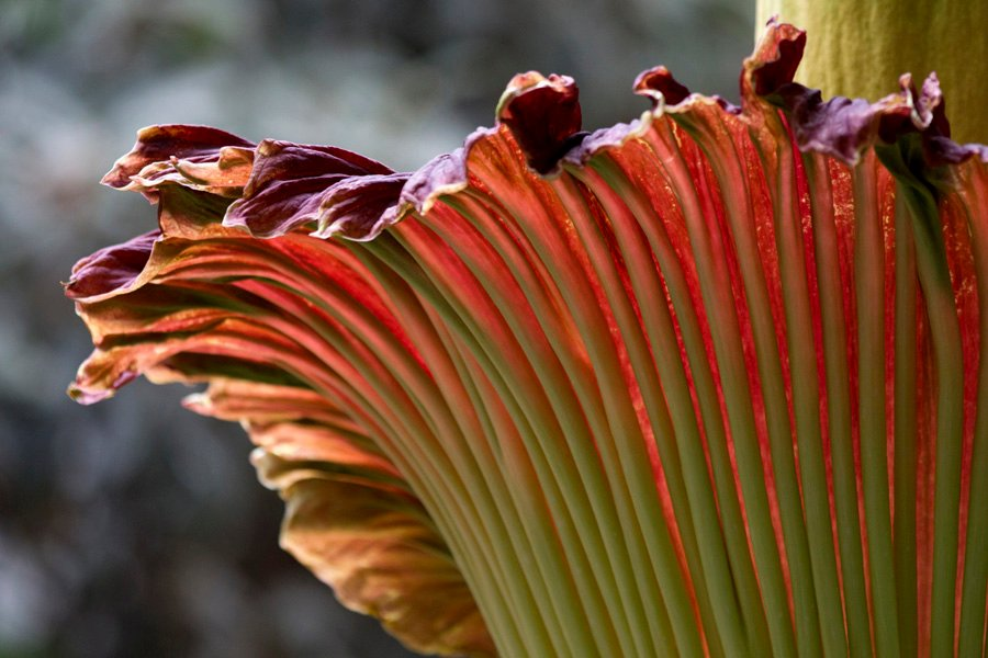 Amorphophallus titanium Photo