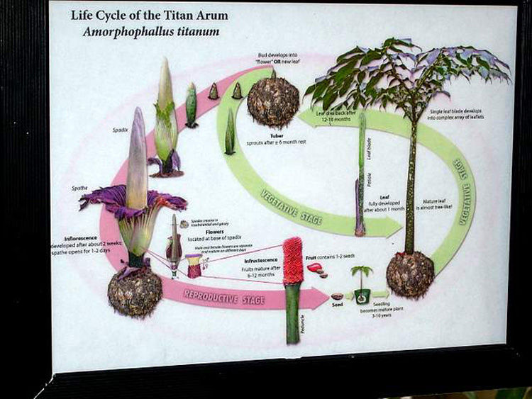 Life Cycle Of Amorphophallus titanium