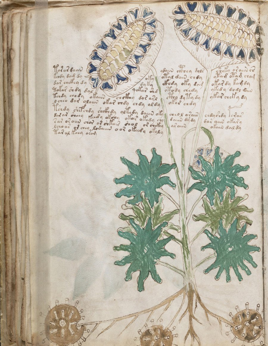 Voynich Manuscript Possible Plant