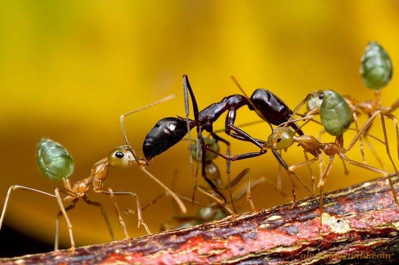 Ant Wars Multiple