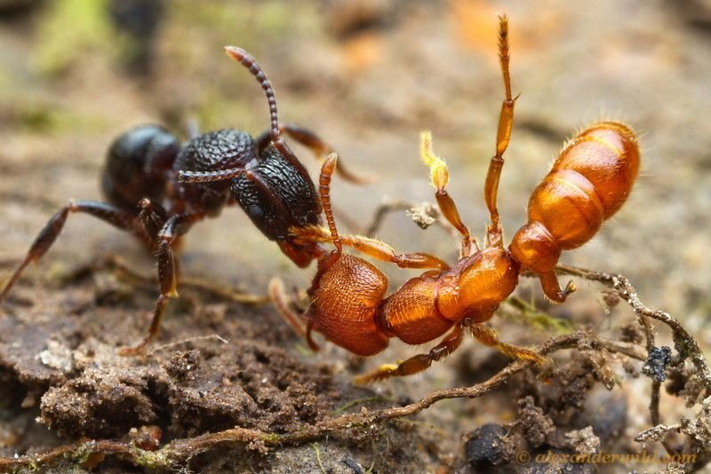Ant Wars Red Brown