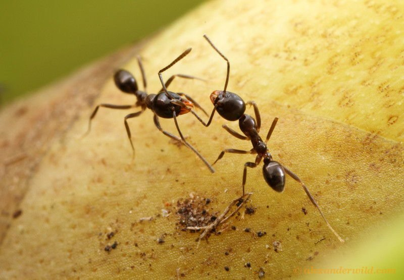 Ant Wars Two Black