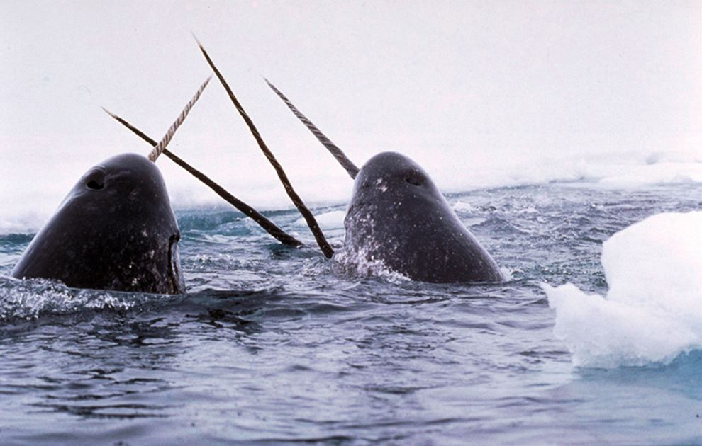 A Pair Of Narwhals Tusking