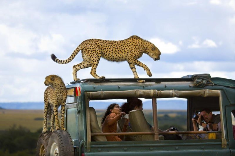 National Geographic Contest Cheetah